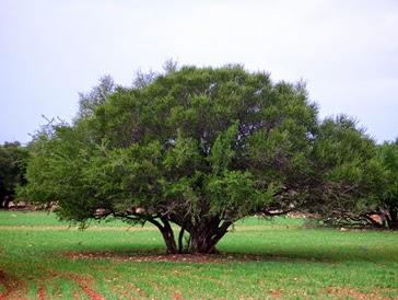 argan-tree-argania-spinosa-from-morocco