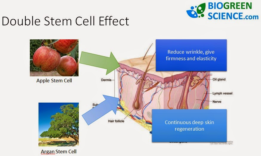 double stem cell effect