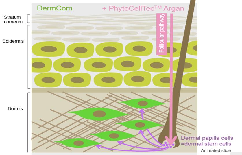 phytocelltec argan