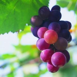 grape seed